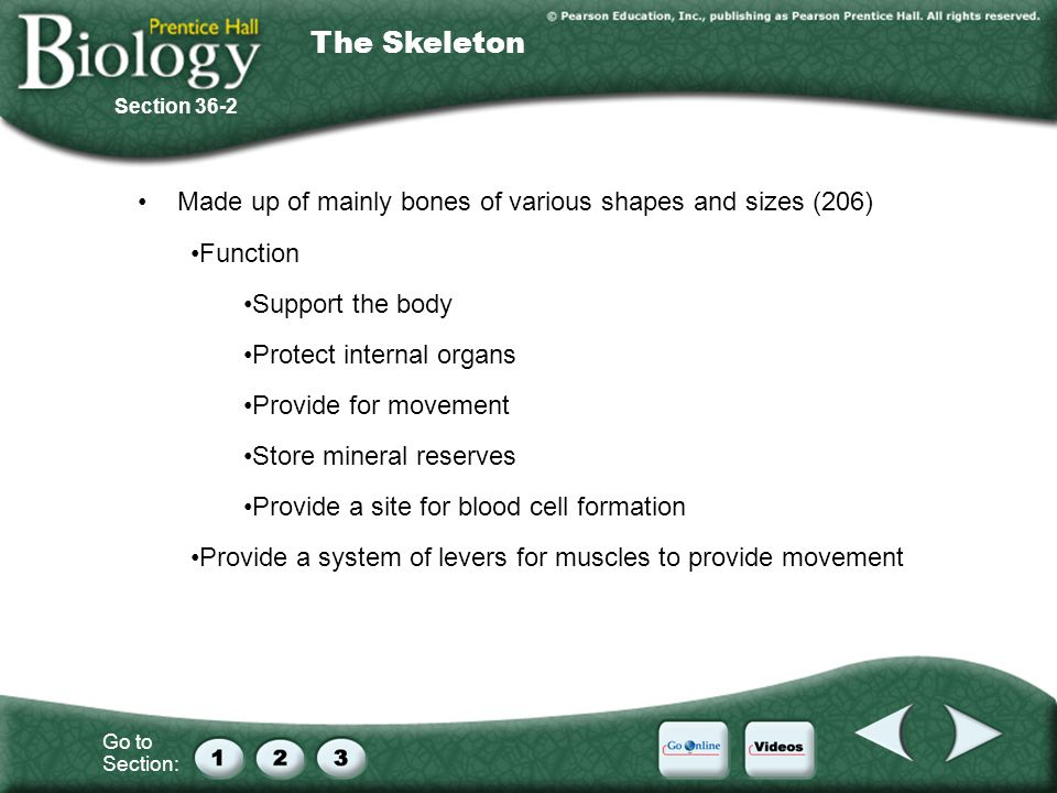 The Skeleton Made up of mainly bones of various shapes and sizes (206)
