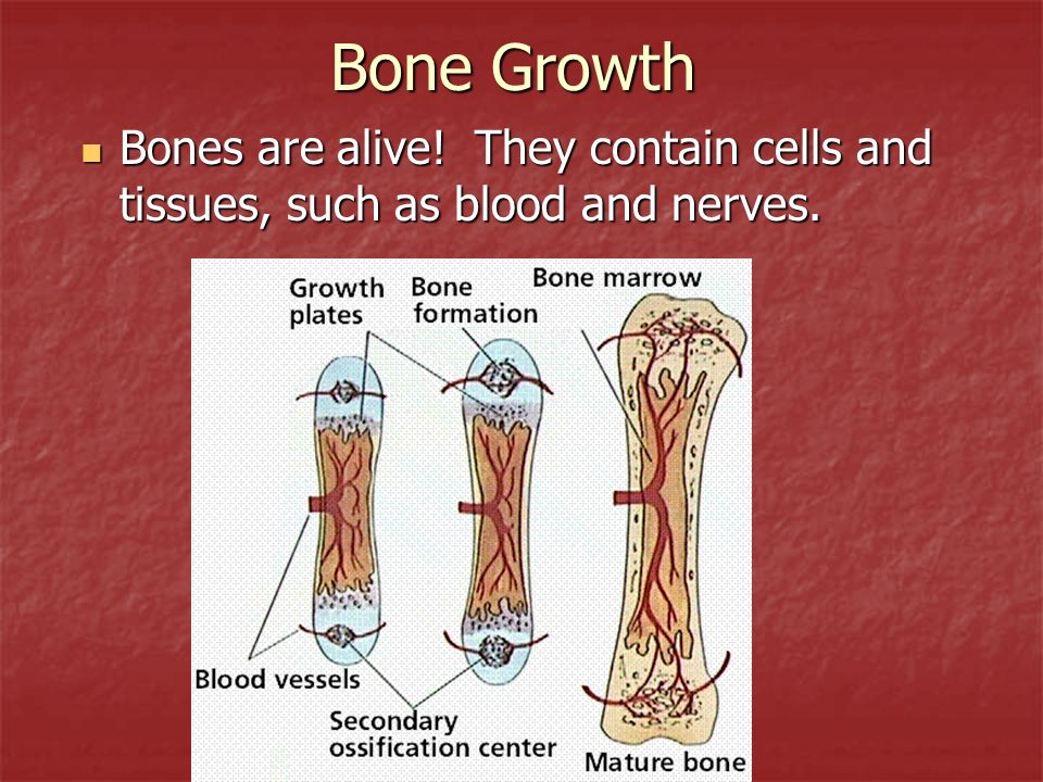 Bone Growth Bones are alive! They contain cells and tissues, such as blood and nerves.