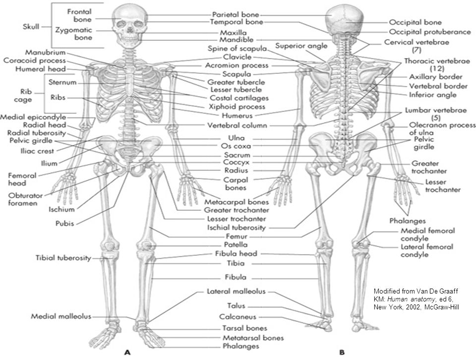 Mcgraw Hill Skeletal Anatomy Diagrams - Introduction To Electrical ...