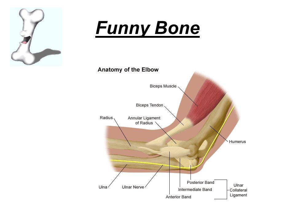 Skeletal System Just Layn\' around - ppt video online download