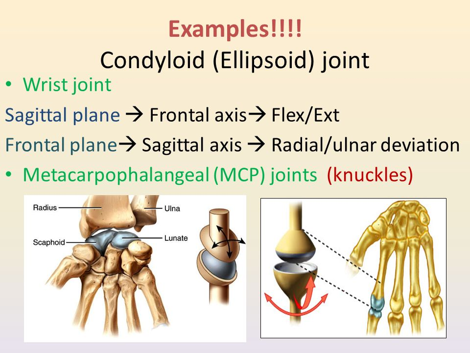 Functional Anatomy Lecture ppt download Condyloid Joint Examples