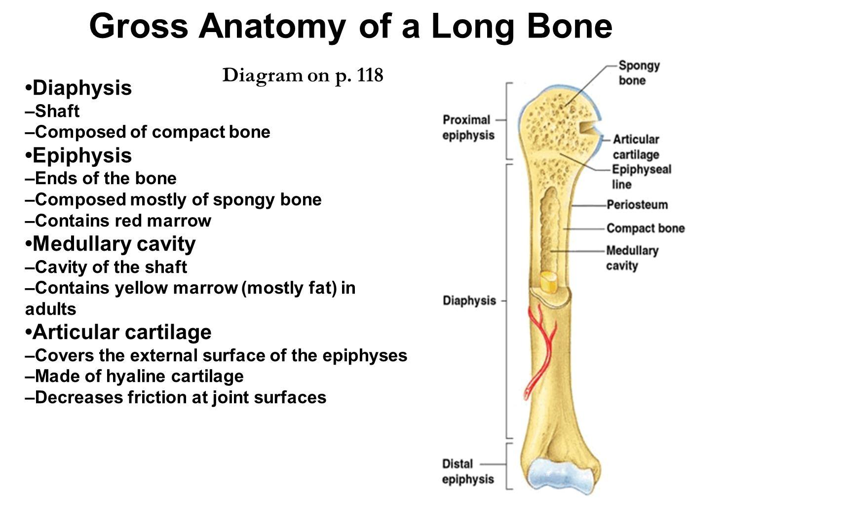 Epiphyseal Plate Humerus Bone Diagram - Automotive Wiring Diagram •