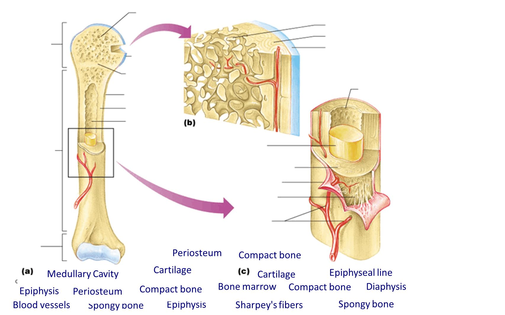 Periosteum And Compact Bone Diagram Diy Enthusiasts Wiring Diagrams