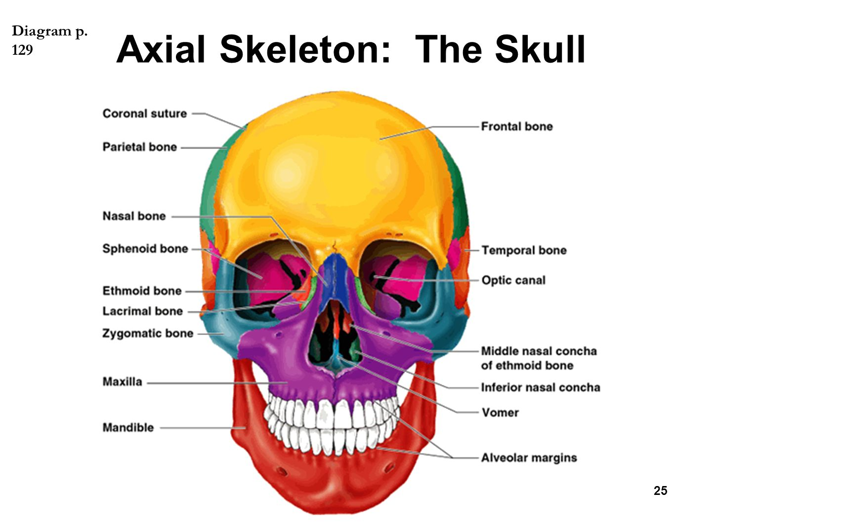 skeleton skull diagram wiring diagramthe skeletal system chapter ppt video online downloadaxial skeleton the skull