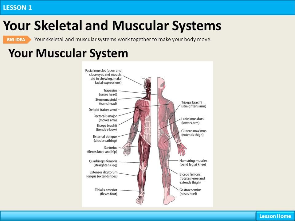 Your Body Systems Lesson 1 Your Skeletal and Muscular Systems - ppt ...