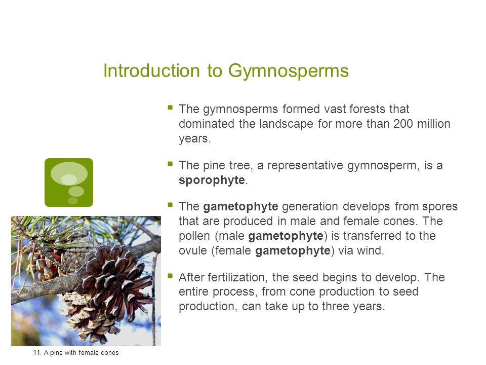 Introduction to Gymnosperms