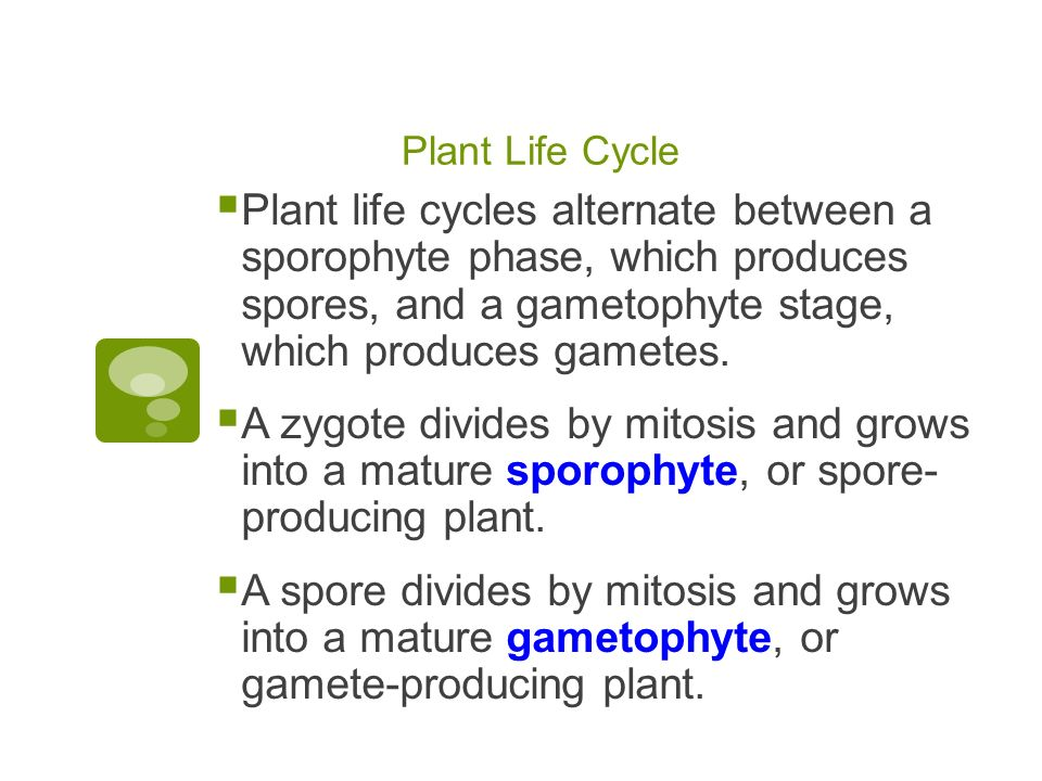 Plant Life Cycle Plant life cycles alternate between a sporophyte phase, which produces spores, and a gametophyte stage, which produces gametes.