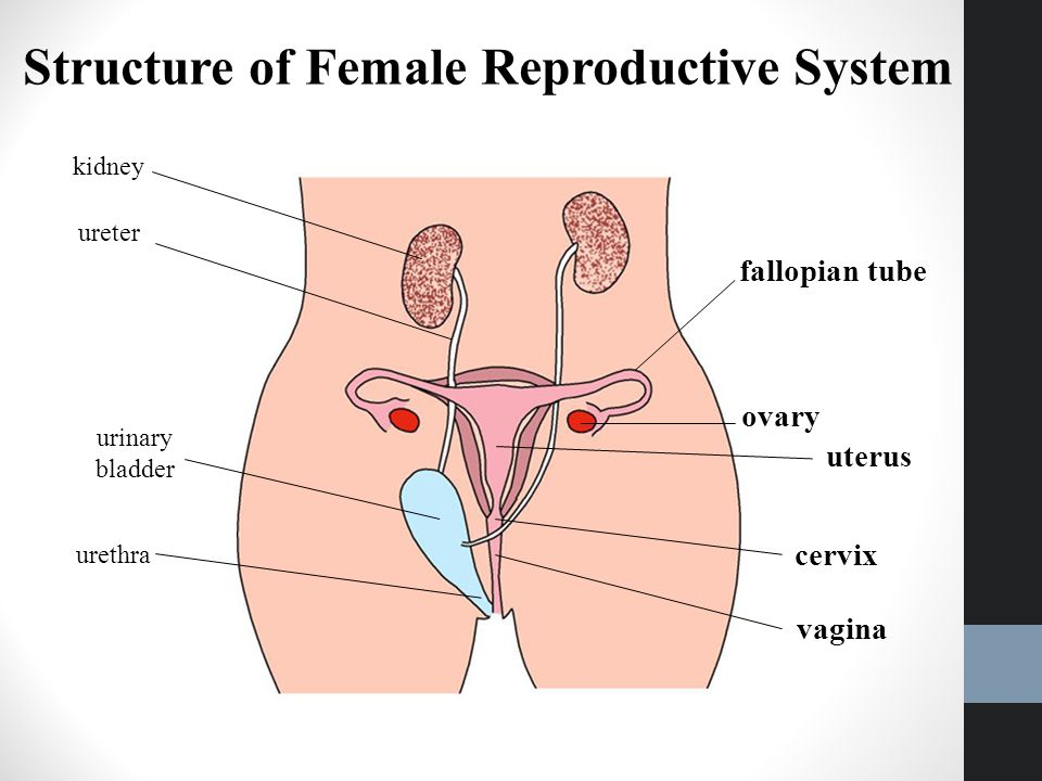 Reproduction humans and plants ppt video online download structure of female reproductive system ccuart Images