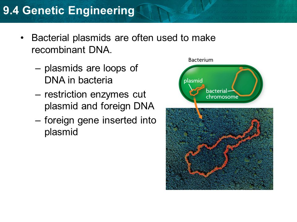 Bacterial plasmids are often used to make recombinant DNA.