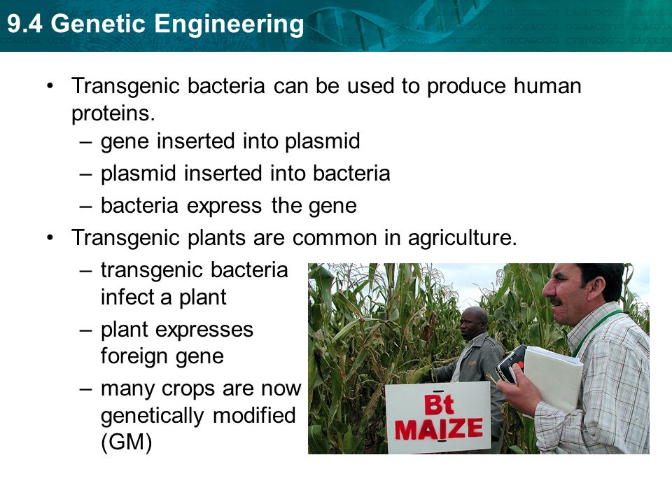 Transgenic bacteria can be used to produce human proteins.