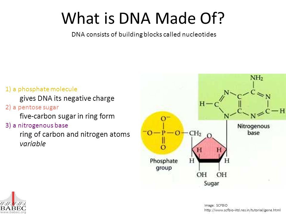 DNA consists of building blocks called nucleotides