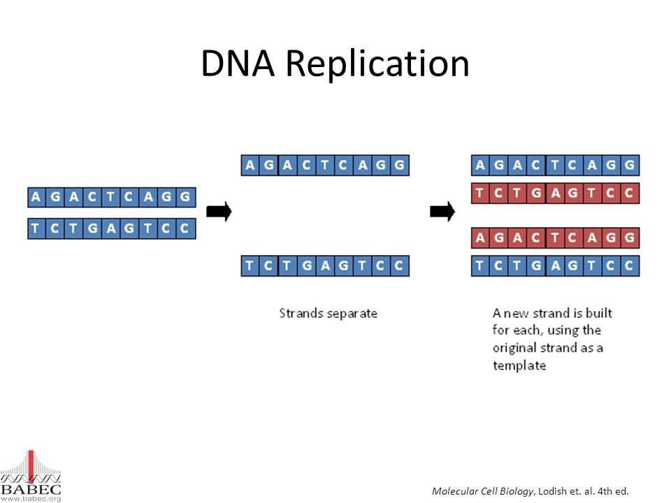 DNA Replication Molecular Cell Biology, Lodish et. al. 4th ed.