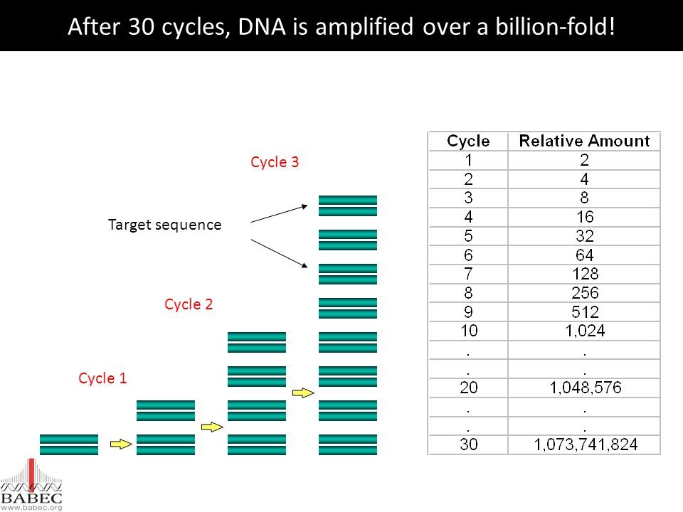 After 30 cycles, DNA is amplified over a billion-fold!