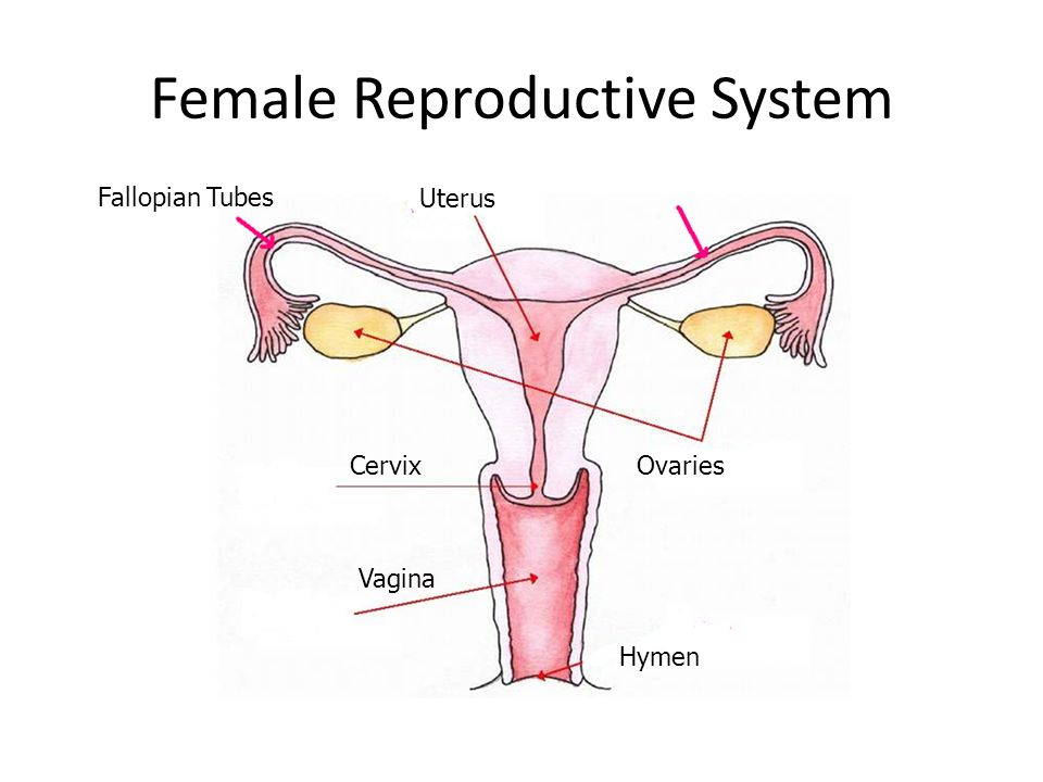 Female Reproductive System Ppt Download