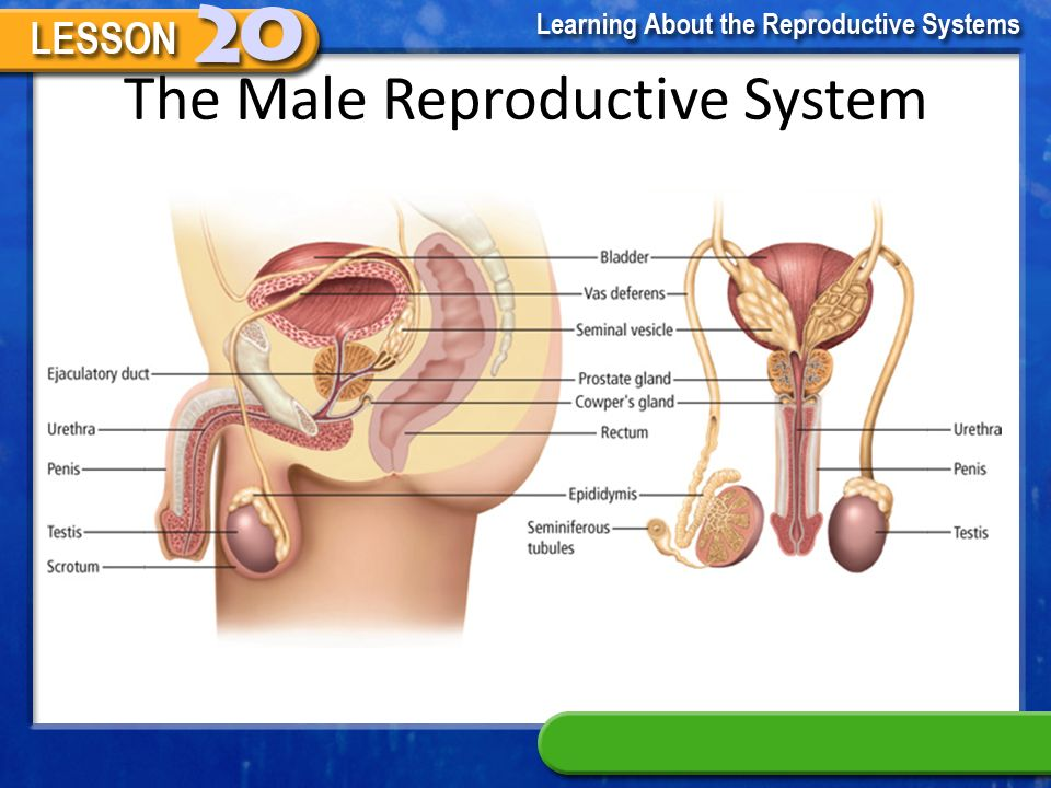 Female and Male Reproductive System - ppt video online download