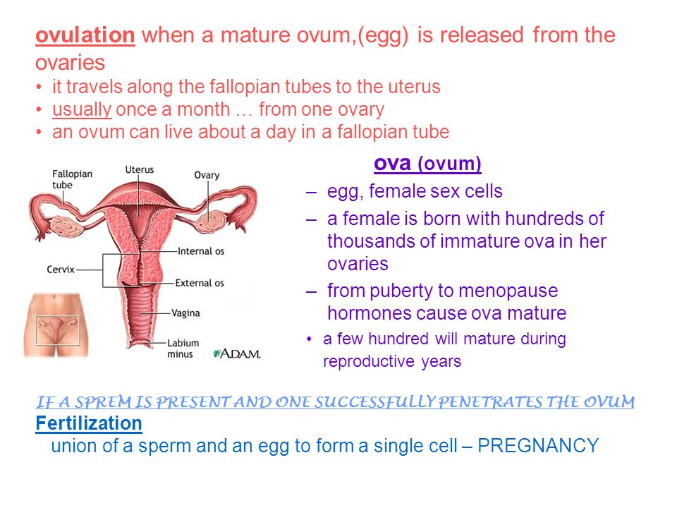 Curious topic Are eggs in the ovaries mature can recommend