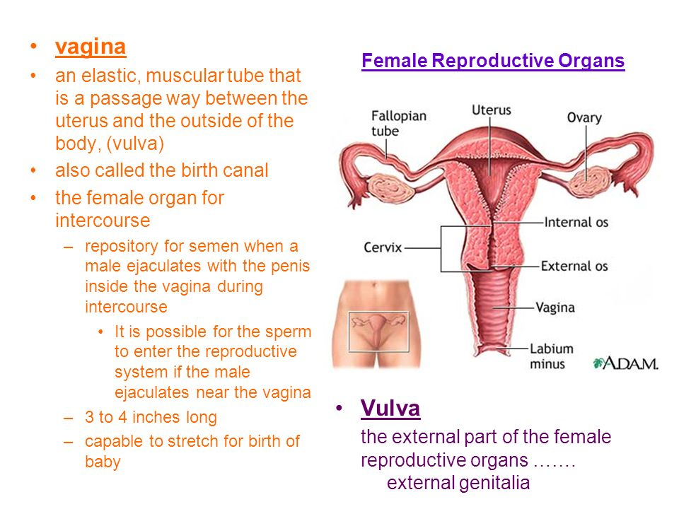 The Female Reproductive System Ppt Video Online Download