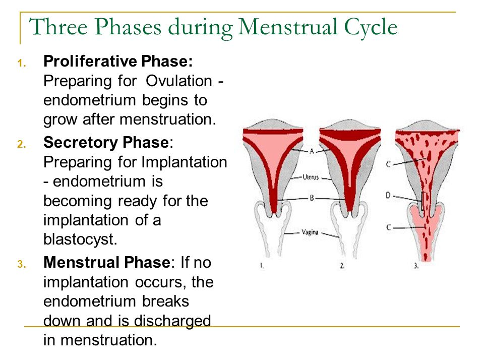 stages of uterine cycle