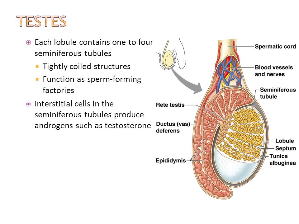Human Reproductive System Part I - ppt download