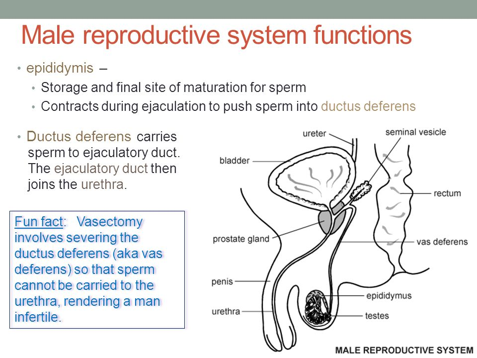 Reproductive System Human Development Ppt Video Online Download