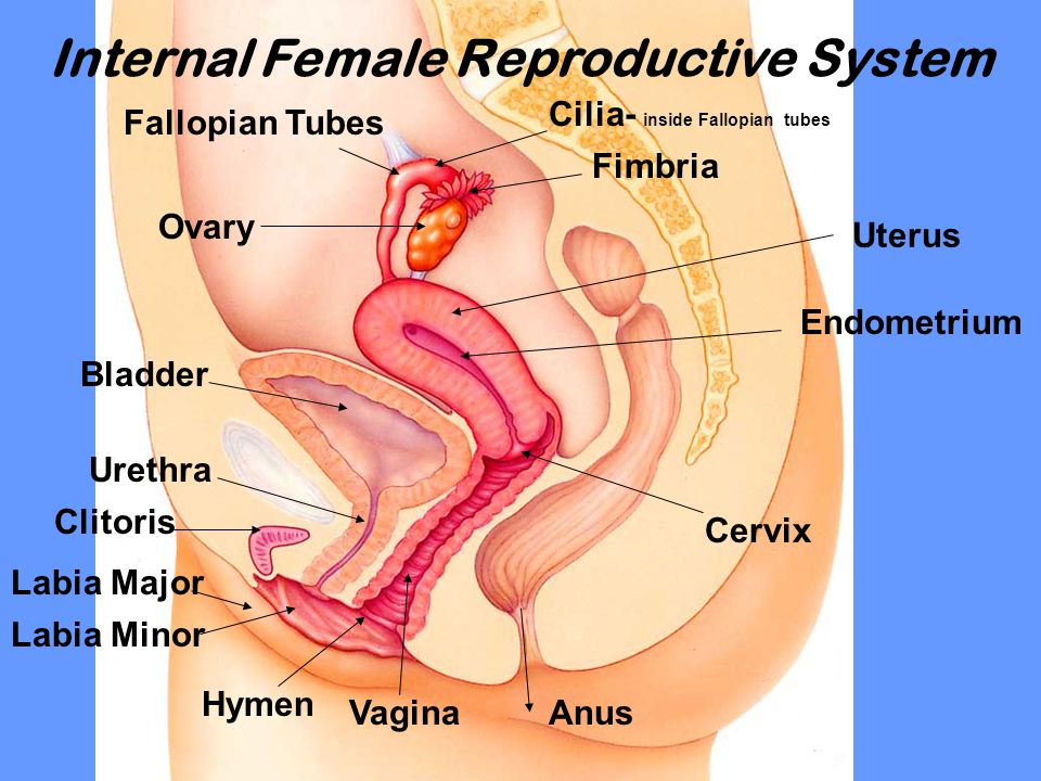 Female Anatomy Hymen Image Collections Human Body Anatomy