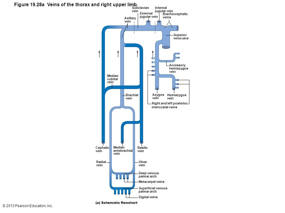 Diagram Of Veins In Upper Arm - Information Of Wiring Diagram •