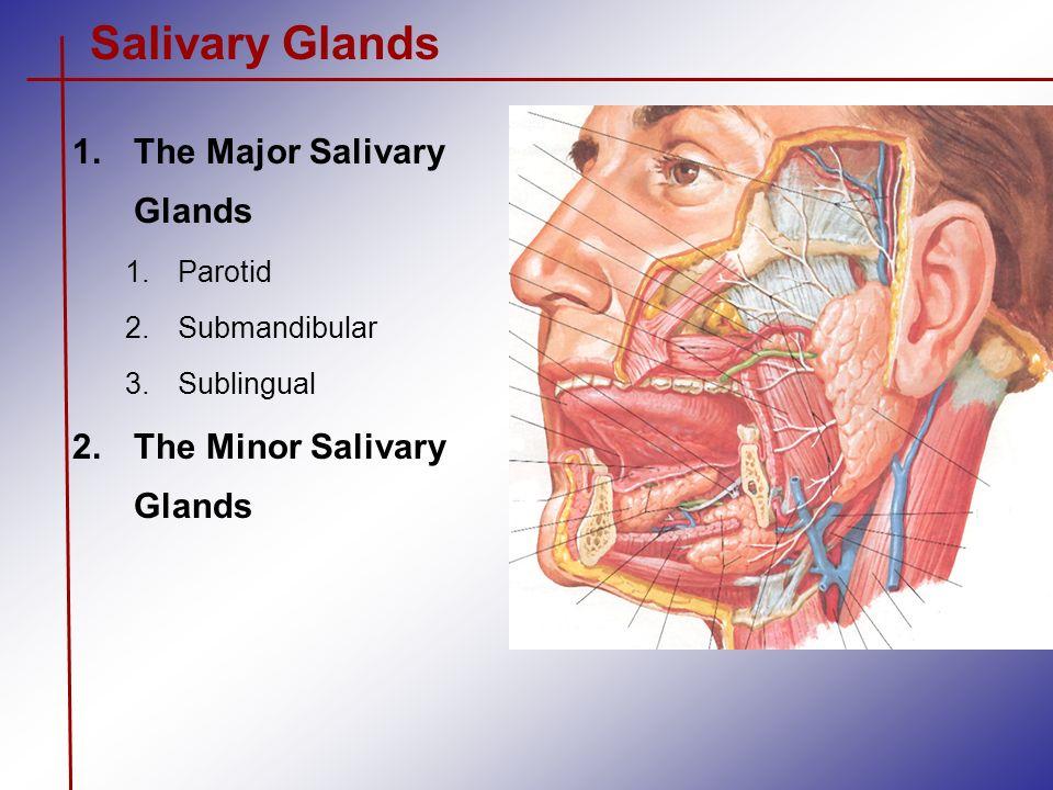 Salivary Glands The Major Salivary Glands The Minor Salivary Glands ...
