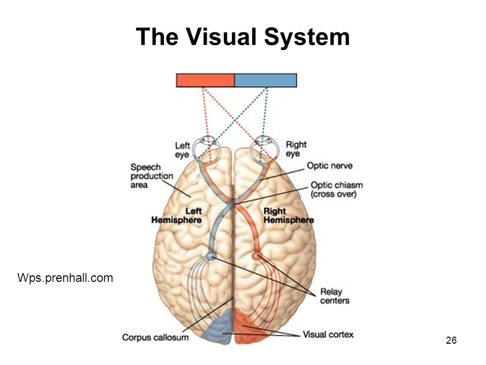 Optic Nerve Anatomy Diagram - Complete Wiring Diagrams •