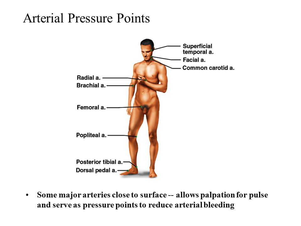 Diagram Of Arteries And Pressure Points Electrical Work Wiring