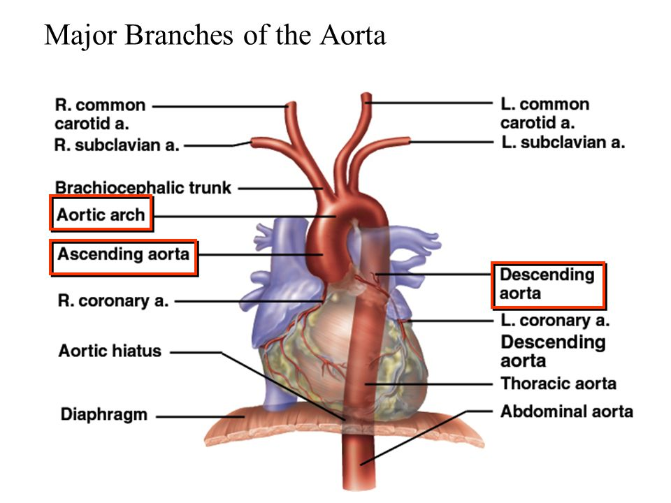 Fantastic Aorta Anatomy Branches Picture Collection Anatomy And