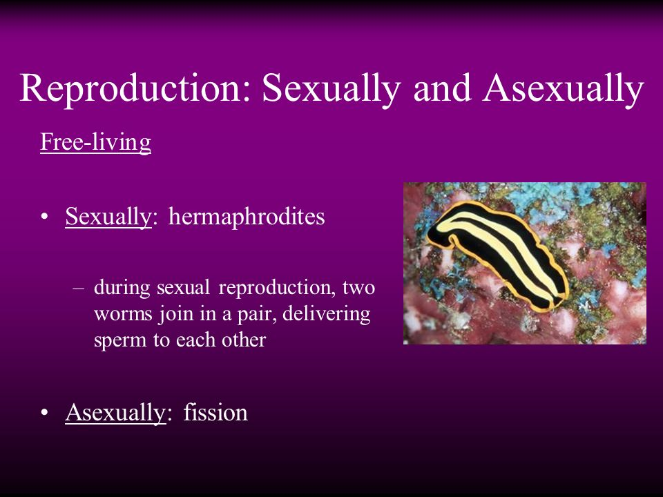 C elegans asexual reproduction fission