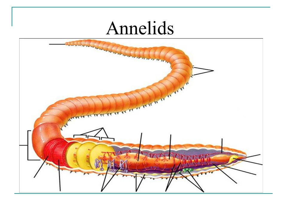Annelid Worm Diagram Wiring Center