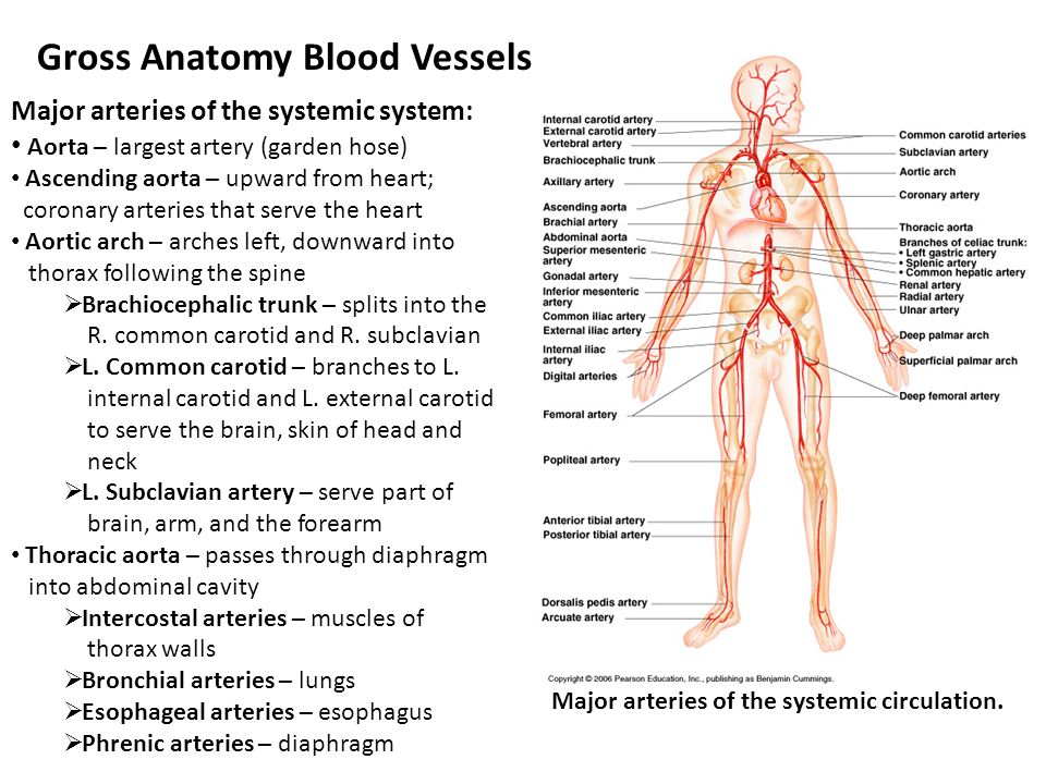 Chapter 11 Part II – Blood Vessels - ppt video online download
