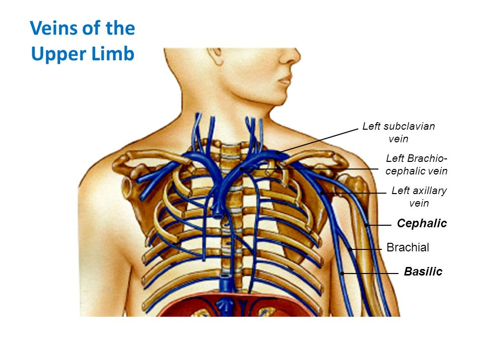 Anatomy Of Cephalic And Subclavian Vein Reference Website Photo ...