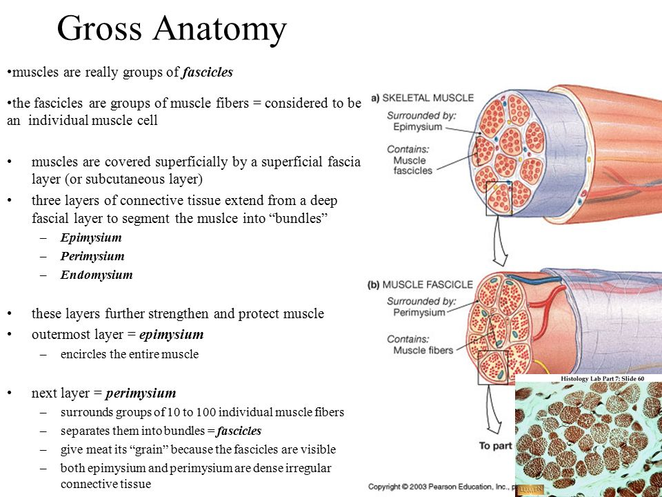 The Muscular System Skeletal Muscle Tissue And Muscle Organization