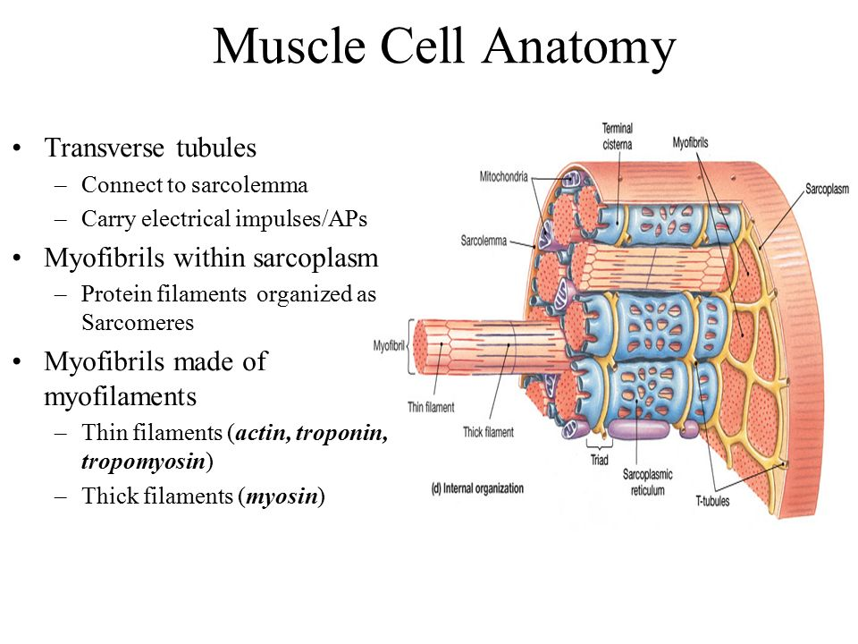 THE MUSCULAR SYSTEM: SKELETAL MUSCLE TISSUE AND MUSCLE ORGANIZATION ...