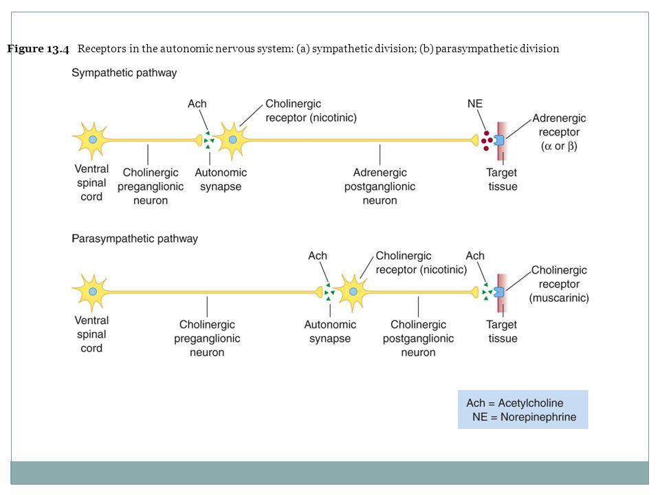 The autonomic nervous system ch 13 ppt video online download figure 134 receptors in the autonomic nervous system a sympathetic division ccuart Image collections