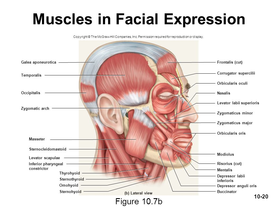Facial Muscles Diagram Side View Web About Wiring Diagram