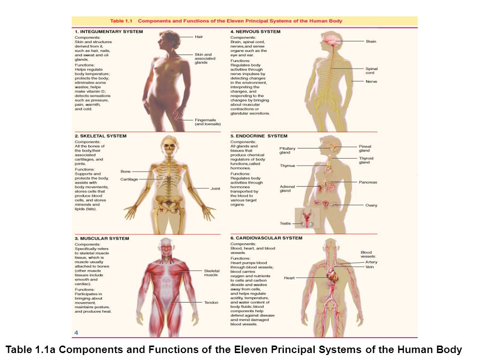 Chapter 1 Organization Of The Human Body Ppt Video Online Download