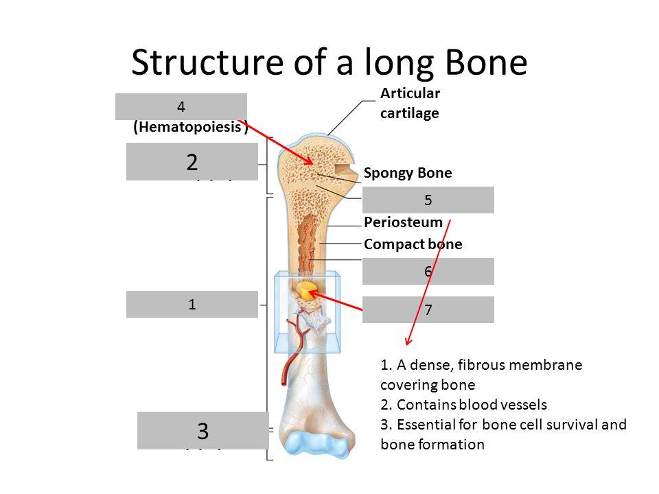Diagram Of Long Bone Formation - DATA Wiring Diagrams •