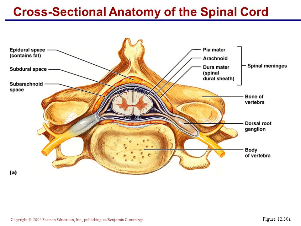 Spinal Cord Part I 12b Ppt Video Online Download