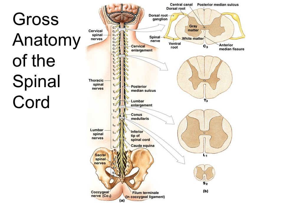 Anatomy Spinal Column Gallery - human body anatomy