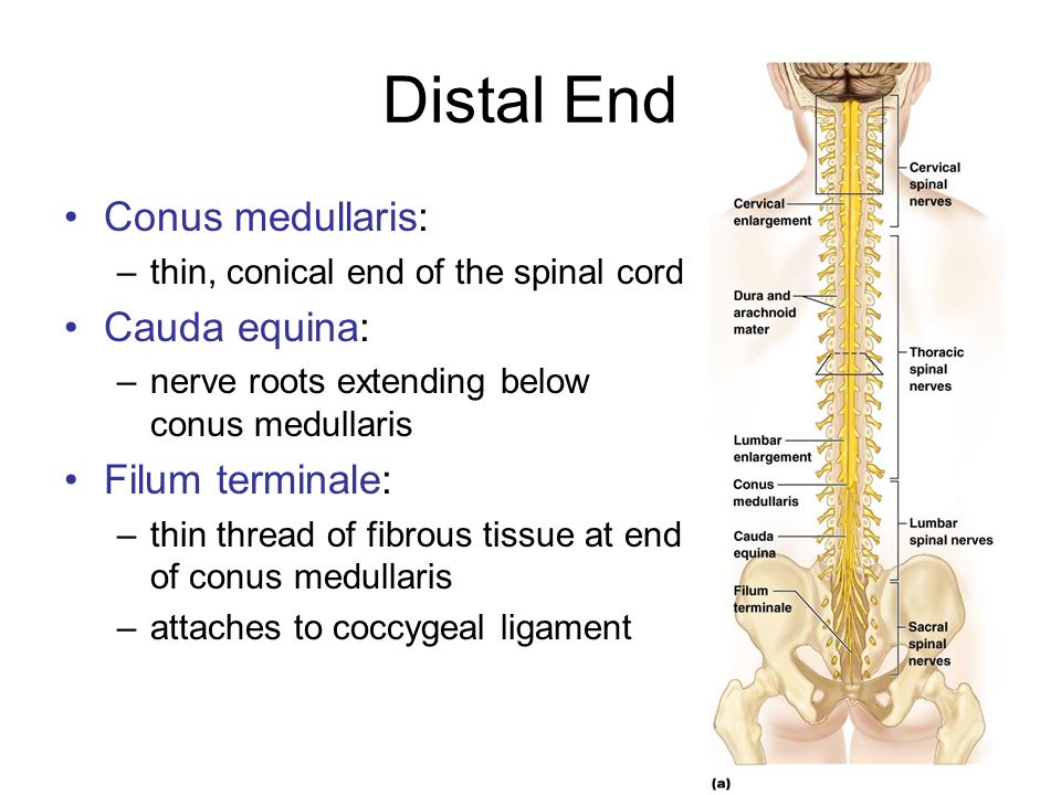 Chapter 12b Spinal Cord Ppt Video Online Download The filum terminale is a small thin filament of connective tissue that extends inferiorly from the apex of the conus medullaris to the sacrum. chapter 12b spinal cord ppt video