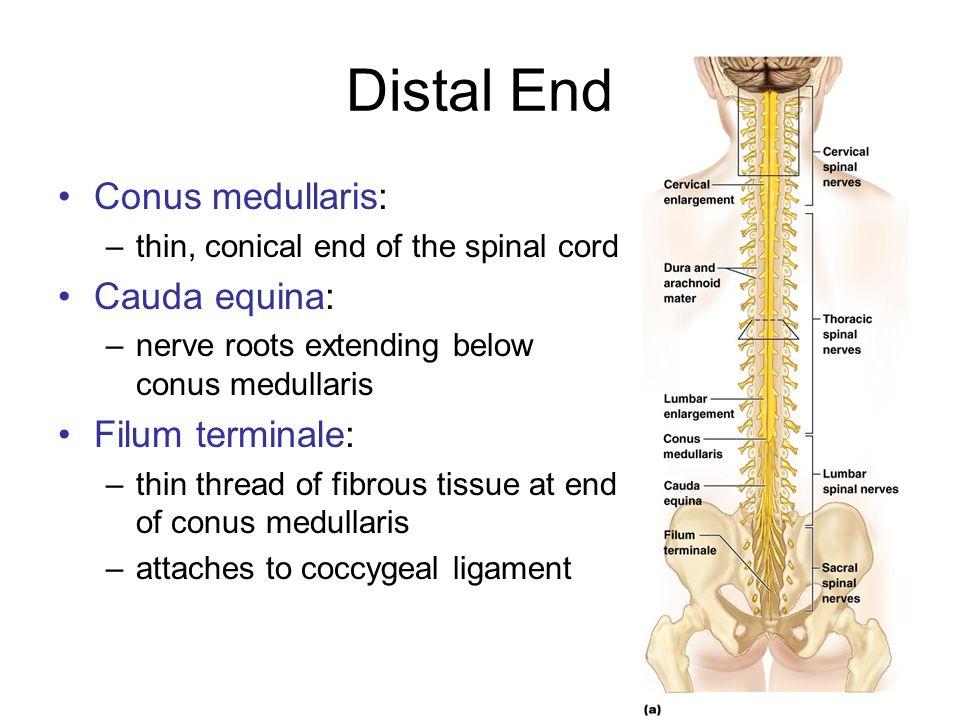 Chapter 12b Spinal Cord Ppt Video Online Download Triploblastik aselomata (belum memiliki rongga tubuh). chapter 12b spinal cord ppt video