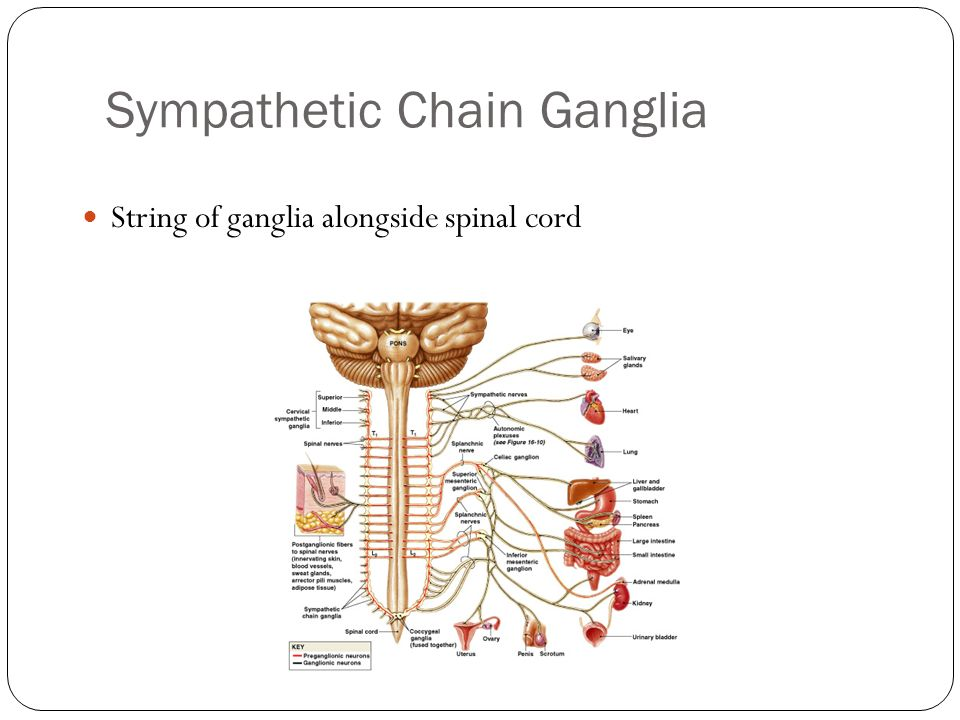 Chapter 13 The Spinal Cord And Spinal Nerves Ppt Video