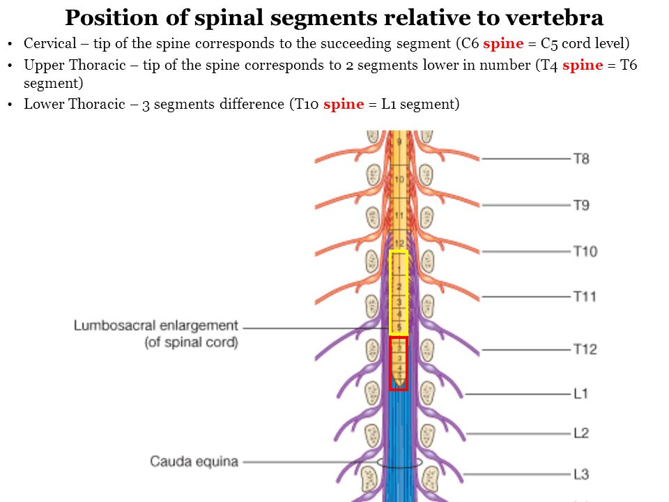 Spinal Cord And Meninges Ppt Video Online Download