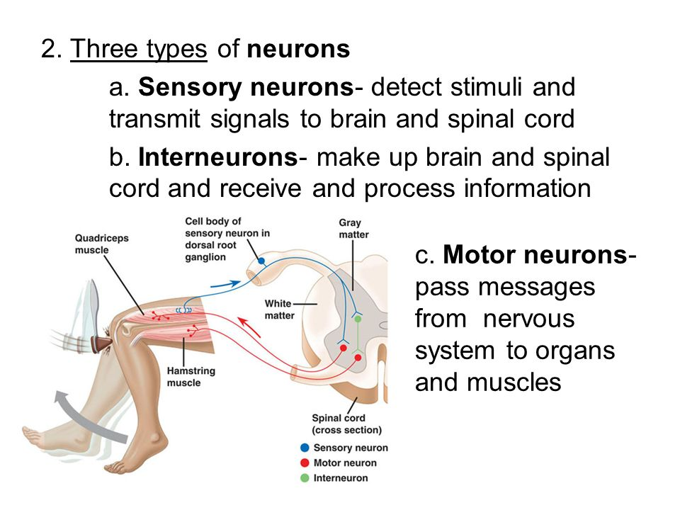 2. Three types of neurons a. Sensory neurons- detect stimuli and transmit signals to brain and spinal cord.