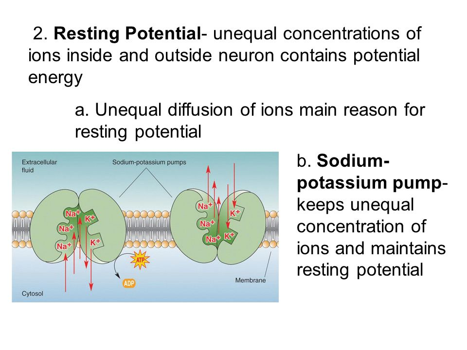 2. Resting Potential- unequal concentrations of ions inside and outside neuron contains potential energy