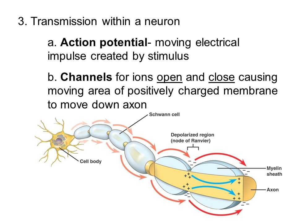 3. Transmission within a neuron