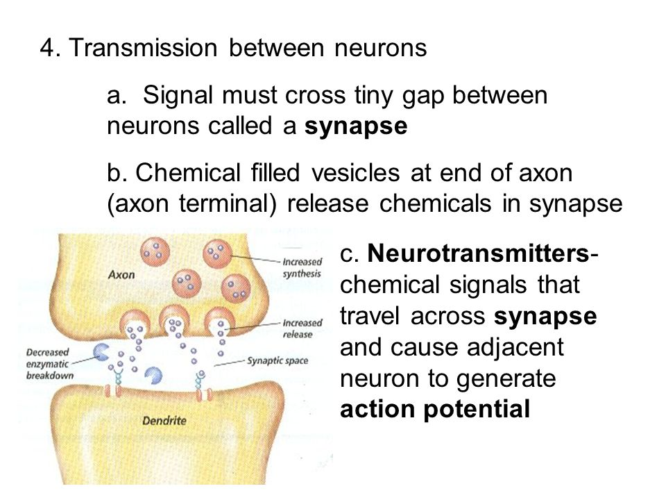 4. Transmission between neurons